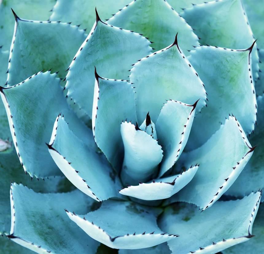 Fridas-Agave-Plant